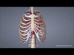 Aufgaben der Knochen - YouTube