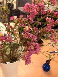 Voksblomst Balcony Garden, Plants, Plant, Balcony Gardening, Planets