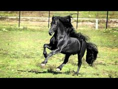 Pinnacle Friesians presents world acclaimed friesian stallion, Frederik the Great 2012. Frederik is known throughout the world for his majestic beauty, lovin...
