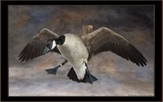 canada goose taxidermy mounts Quotes Taxidermy Display, Bird Taxidermy, Duck Mount, Deer Mounts, Duck Hunting, Ducks, Canada Goose, Studios, Wildlife