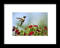 Hummingbird Frolic With Flowers Framed Print By Christina Rollo