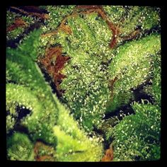 marajuana seeds  http://www.mjseedscanada.com/