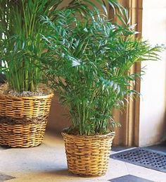 Areca Palm-The palm is a lovely green plant to send to someone as a gift. Palm plants decorate a room or office with elegance and make a lasting impression. #BenevaFlowers #IndoorPlants #GreenThumb #FlowerLover #ArecaPalm