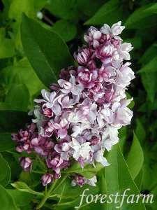Syringa vulgaris Nadezhda - Lilac