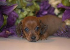 Dachshund Puppies For Sale & Miniature Puppy   Down Home Dachshunds