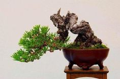 Bonsai small