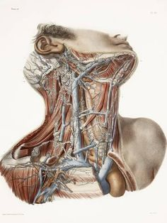 The vasculature and underlying musculature of the neck and surrounding regions. Ascending the side of the neck is the common carotid artery. When you take your pulse at the side of your neck (try. Medical Drawings, Medical Art, Medical Science, Human Anatomy Art, Anatomy Drawing, Muscle Anatomy, Body Anatomy, Anatomy Images, Anatomy Sculpture