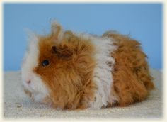Texel Guinea pigs and their lovely ringlets always remind me of Shirley Temple.