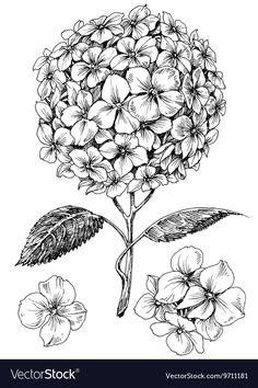 Hydrangea flower set Hand drawn detailed hortensia vector image on VectorStock Flower Line Drawings, Flower Drawing Tutorials, Flower Sketches, Art Sketches, Art Drawings, Drawing Flowers, Hydrangea Tattoo, Hydrangea Flower, Flowers Garden