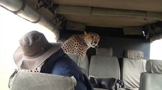 A Curious Cheetah Approached People On Safari – A Lifetime Experience