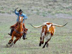 Cowboy roping a longhorn at Sombrero Ranch, Colorado USA. Western Riding, Western Art, Horse Riding, Longhorn Cattle, Longhorn Cow, Cowboy Horse, Cowboy And Cowgirl, Cowboy Ranch, Westerns