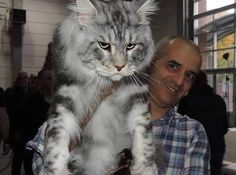 Maine Coon cats are known as one of the largest domestic cats. Beside being such amazing creatures, they're also skilled hunters and always in the mood for...