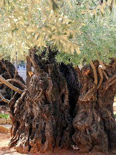 Olive Tree in the Garden of Gethsemane ~ Jerusalem, Israel El olivo es una especie que puede alcanzar hasta los 2.000 años de vida. ¿ Alguno de los actuales olivos, habrá brotado gracias a las Divinas lágrimas de Nuestro Salvador ?