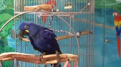 """Gucci, blue hyacinth macaw, sings """"Tequila"""""""