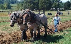 Plowing with draft horses
