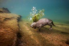 Dans la Loire, un castor d'Eurasie rapporte une branche de peuplier pour dîner à l'intérieur de son terrier - Nat Géo Wild France