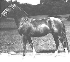 Linsley, uno de los sementales sobre los que se fundó la raza American Morgan Horse, originario de Kansas