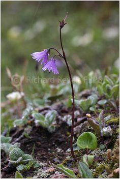 Soldanella alpina Richard Revels Photography - The SWISS ALPS.