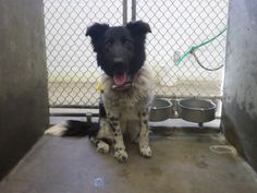 #TEXAS ~ 14-29 is a Border Collie mix in need of a loving #adopter / #rescue at ODESSA ANIMAL CONTROL 910 W 42nd St  #Odessa TX 79762