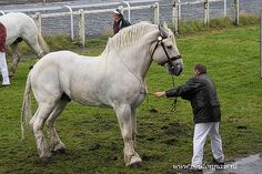 Percherons horses info Use a cleaner specifically designed to wash and remove pet odors.If your Percherons horses can continue to smell the spot, he is going to be more likely to mark it again. Big Horses, Work Horses, White Horses, Horse Love, Show Horses, Draft Horse Breeds, Draft Horses, Most Beautiful Animals, Beautiful Horses