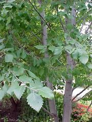Black alder (Alnus glutinosa)