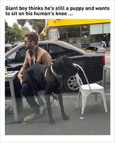 giant dog funny memes