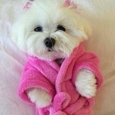 Just a little white pup getting ready for bed in her pink furry robe and bows. | The Secret Life of Pets | In Theaters July 8