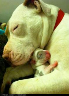 Mama and baby pitbull