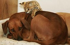 Serval kitten, Shakira, with her adoptive mum, Rhodesian Ridgeback dog, Katijnga, in Germany