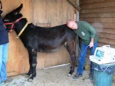 """E il nostro veterinario confermò: """"La famiglia del Rifugio crescerà ancora!"""" - Now it's official: more foals are coming into our donkey family!     Per gentile concessione di Il Rifugio degli Asinelli, Sala Biellese (BI) Italy."""