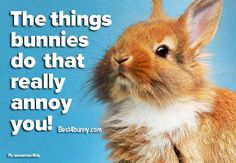 20 things bunnies do that really annoy you. Can you relate to any of them? ////No No No I can NOT relate. Rabbit Life, House Rabbit, Pet Rabbit, Rabbit Pictures, Animal Pictures, Rabbit Behavior, Rabbit Information, Bunny Care, Indoor Pets