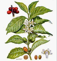 Las Plantas Curativas: Cafeto
