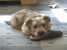 """""""Sophie"""" as a puppy, having borrowed a guest's slipper."""