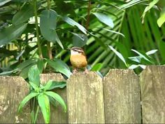 cheeky carolina wren sings
