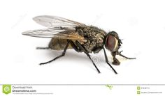 house fly anatomy lateral - Google Search