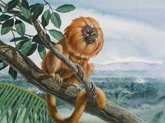 """Golden Lion Tamarin"" by Don Balke"