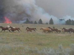 Horses fleeing from Inyan Kara fire. So sad. Photo taken by Brett Swaney...volunteer fireman who I work with at Black Hills Power. He was on his days off trying to contain this blaze when he saw the horses. respect to all the firemen.