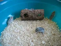 Baby Dwarf Hamsters playing