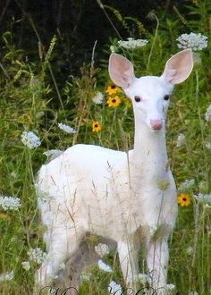 White Fawn in field of flowers by Mary Dreher