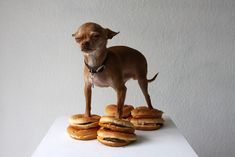 Chihuahua on cheeseburgers