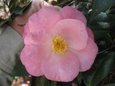 Bernice Boddy (Camellia Japonica)