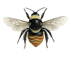 Bees on the brink?    See our new reports which highlight the decline of 12 iconic bees in different regions of England. Illustration shows   Bilberry Bumblebee.    Credit: Chris Shields