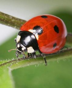 Ladybird Images, Baby Animals, Cute Animals, Lady Bugs, All Gods Creatures, Flowers Nature, Beetles, Snails, Lions