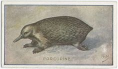 Echidna Echidna, Whale, Cards, Animals, Animales, Whales, Animaux, Maps, Animais
