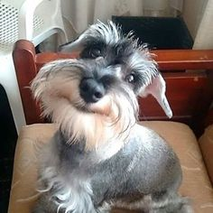 Ranked as one of the most popular dog breeds in the world, the Miniature Schnauzer is a cute little square faced furry coat. It is among the top twenty favorite Schnauzers, Miniature Schnauzer Puppies, Schnauzer Puppy, I Love Dogs, Cute Dogs, Animals Beautiful, Cute Animals, Animals Dog, Beautiful Smile