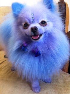 Periwinkle Pomeranian.  OMG #SephoraColorWash
