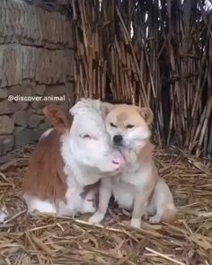 1,516 vind-ik-leuks, 15 opmerkingen - Cows lover🐮💕 (@cows._daily) op Instagram: 'Friends forever 😍 ❤🐮Follow us ▶️@cows._daily for more🐮 . 📷: Please DM No copyright infringement…' Unusual Animal Friends, Unusual Animals, Animals Beautiful, Animals And Pets, Baby Animals, Funny Animals, Cute Animals, Nature Animals, Cute Cows