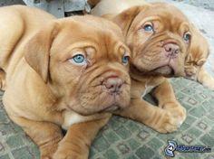 Dogue de Bordeaux, puppies