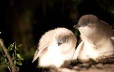 Seasonal Calendar - Bicheno Penguin Tours