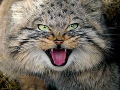 Manul:  I saw one of these before.  I thought it was a house cat and tried to save.  It hissed at me exactly like this picture.  I decided I didn't like cats enough to deal with that face.  Too scary!
